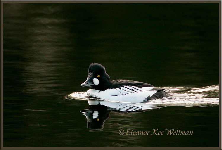 Common Goldeneye Swimming