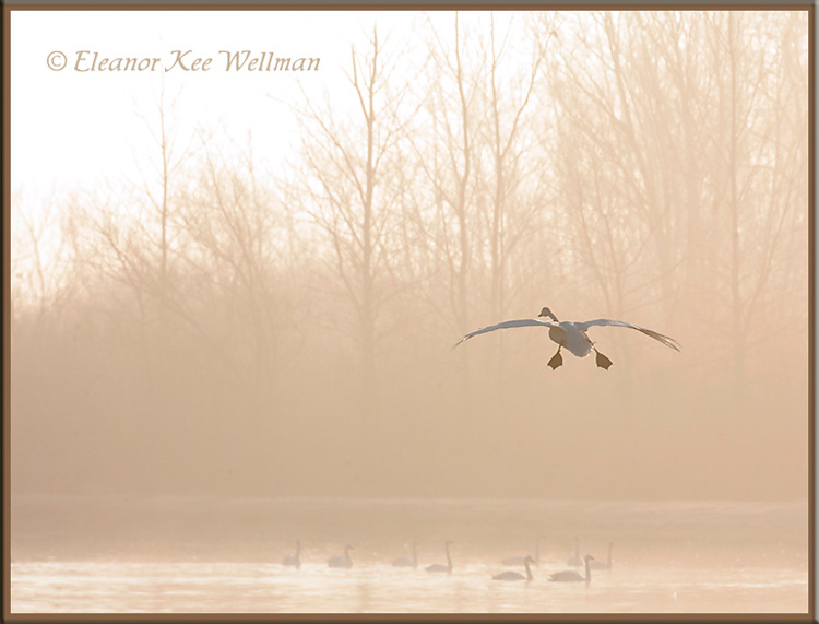 Tundra Swan - Misty Morning Landing<br /> Aylmer, ON