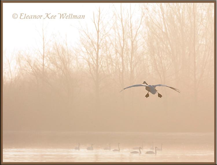Tundra Swan - Misty Morning Landing<br /> Aylmer, ON