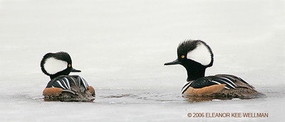 Hooded Mergansers in Spring Ice