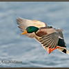 Mallard, Male, Take-Off