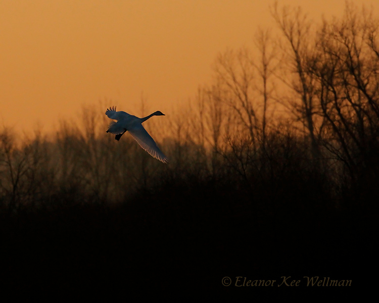 Tundra Swan - Early Morning Arrival<br /> Aylmer, ON