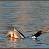 Red-breasted Merganser Displaying #4
