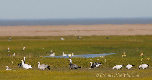 Snow Geese Feeding<br /> In migration, Cape Tatnum, Hudson Bay Lowlands, Manitoba