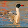 Common Merganser, Male, Wing Flap