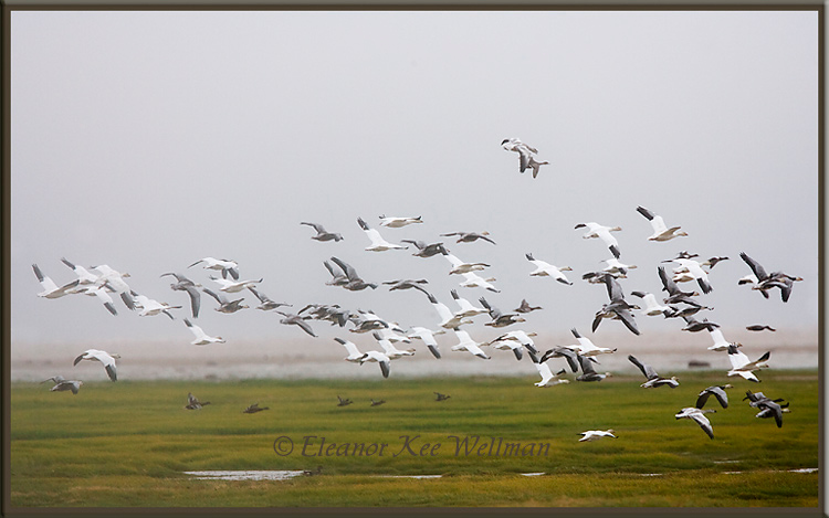 Snow Geese - Dark and White with Young<br /> Hudson Bay Lowlands, Cape Tatnum, Manitoba