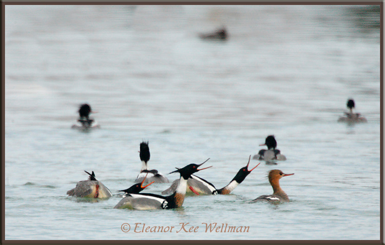 Red-breasted Merganser Males Displaying to Female