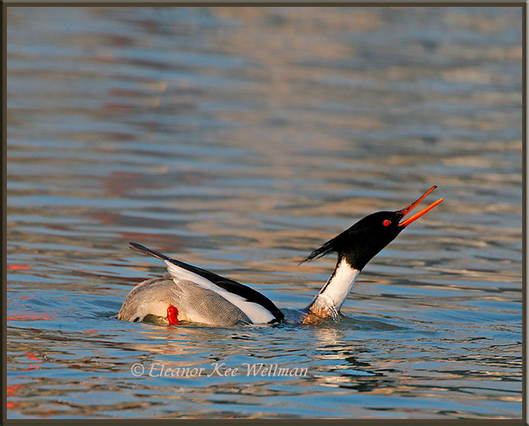 Red-breasted Merganser Displaying #2