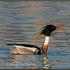 Red-breasted Merganser Displaying #5