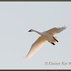 Tundra Swan Flying By<br /> Banded Bird, Aylmer, ON