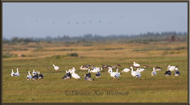 Snow Geese in Migration<br /> Cape Tatnum, Hudson Bay, Manitoba