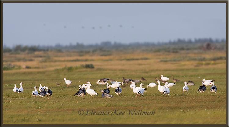 Snow Geese in Migration<br /> Cape Tatnum, Hudson Bay, Manitoba