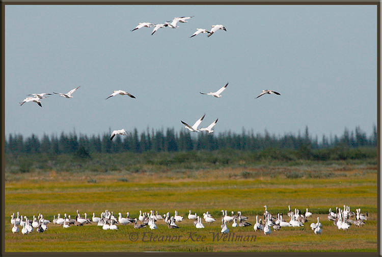 Snow Geese Feeding and Flock in Migration<br /> Cape Tatnum, Hudson Bay, Manitoba