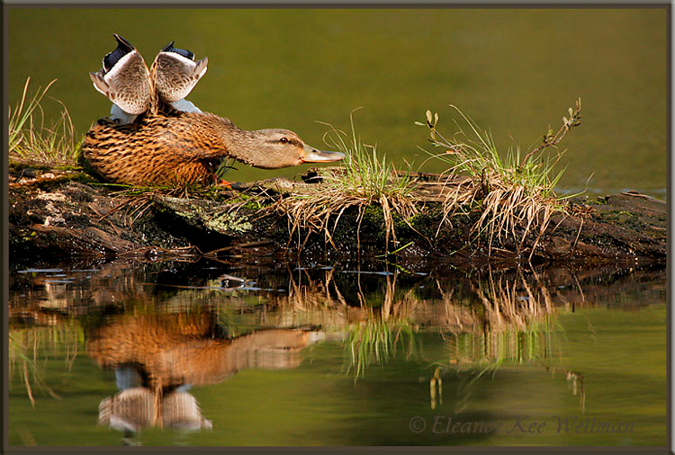 Mallard, Female, Stretching