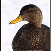 Black Duck Portrait
