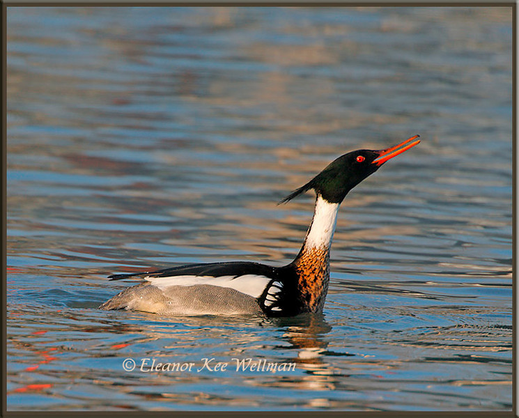 Red-breasted Merganser Displaying #1