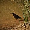 Mangrove Heron