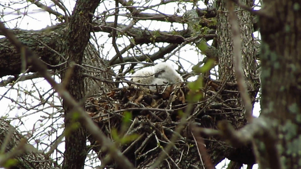 Great Horned Owl Babies<br /> March 11, 2012