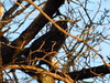 Great Horned Owl<br /> Hagerman NWR<br /> 01-28-2012