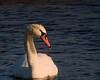 Mute Swan - edited