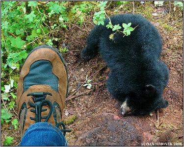 """SLUMBER 1"", sleeping black bear cub, Anan creek, Alaska, USA-----""V RISI SNU 1"", spici cerne mlade."