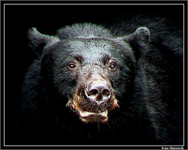 """FACE OF DARKNESS"", a black bear, Anan Creek, Alaska, USA.-----""TVAR TMY"", cerny medved, Anan Creek, Aljaska, USA."