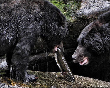 """GIVE ME THAT FISH!"",black bears,Anan creek,Alaska,USA."