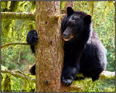 """DIZZY"", a black bear, Anan creek, Alaska, USA-----""ZAVRAT"", cerny medved, Anan creek, Aljaska, USA."