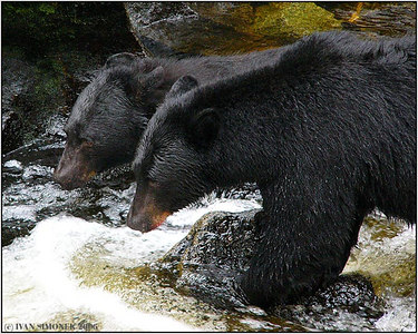 """A SIAMESE BEAR"", two black bears fishing side by side, Anan creek, Alaska, USA-----""MEDVED SIAMSKY""."