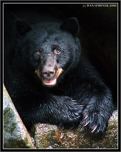 """""""RESTING"""", a black bear in a cave,Anan, Alaska, USA-----""""ODPOCIVAM"""",cerny medved v jeskyni, Anan, Aljaska, USA."""