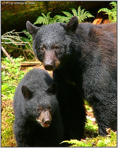 """WITH MOTHER"", black bears, Anan creek, Alaska, USA-----""S MAMINKOU""."