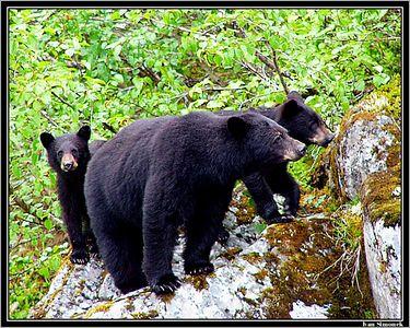 """I SEE YOU..."", black bears,Shakes lake, Alaska, USA.-----""VIDIM TE..."", cerni medvedi, jezero Shakes, Aljaska, USA."