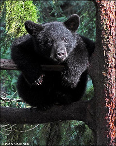 """ALMOST COMFORTABLE"",a black bear cub,Anan,Alaska,USA."