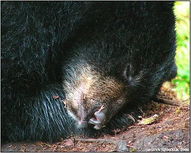 """""""SLUMBER 2"""",sleeping black bear cub, Anan creek, Alaska, USA-----""""V RISI SNU 2"""", spici cerny medvidek."""