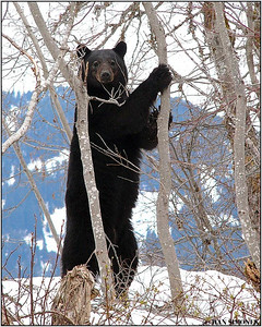 """LATE SPRING"", a hungry black bear, along Stikine river, B.C., Canada"