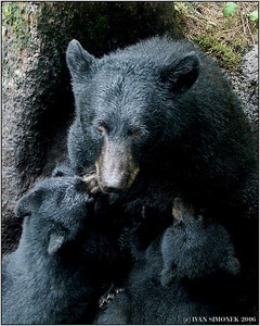 """NURSING"", a black bear sow nursing two cubs, Anan creek, Alaska, USA-----""KOJENI"", cerna samice koji dve mladata."