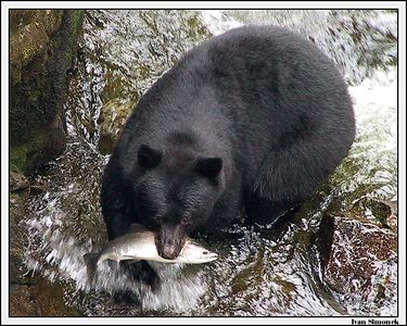 """MOUTHFUL"", a black bear and a pink salmon, Anan Creek, Alaska, USA.-----""PLNA TLAMA"", cerny medved a ruzovy losos, Anan Creek, Aljaska, USA."