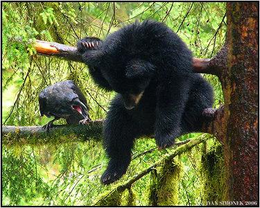 """A STRANGE COMPANY"", a black bear cub ignoring screaming raven, Anan creek, Alaska, USA-----""DIVNA SPOLECNOST"", cerny medvidek ignoruje kriciciho havrana, Anan creek, Aljaska, USA."