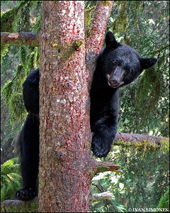 """PEEK-A-BOO"",a black bear,Anan Creek,Alaska,USA."