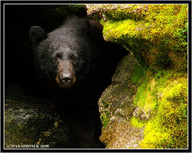 """I AM WATCHING YOU"", a black bear, Anan creek, Alaska, USA-----""SLEDUJI TE"", cerny medved, Anan creek, Aljaska, USA."