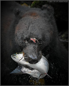 """WOUNDED"",a Black bear,salmon,Anan creek,Alaska,USA."