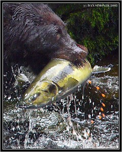 """THE LAST EFFORT"", a black bear and a salmon, Anan Creek, Alaska, USA-----""POSLEDNI SNAHA"", cerny medved a losos, Anan Creek, Aljaska, USA."
