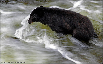 """FAST CURRENT"",a Black bear,Anan creek,Alaska,USA."
