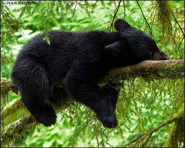 """BALANCED REST"",a black bear,Anan Creek,Alaska,USA."