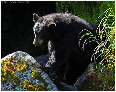 """UNDECIDED"".a Black bear,Anan,Alaska,USA."