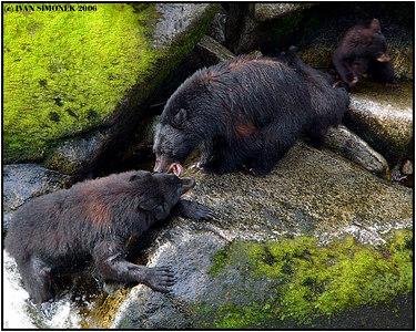 """""""ANGRY MAMA"""", a black bear sow protecting her 2 cubs, Anan creek, Alaska, USA-----""""ROZLOBENA MAMA"""", cerna samice chrani sve 2 potomky."""