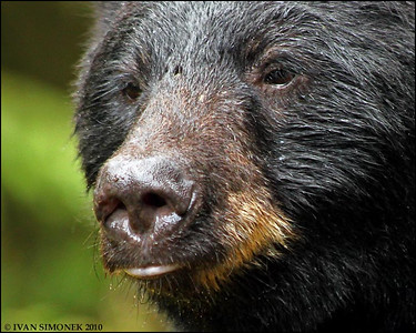 """MR.IMPORTANT"",a Black bear,Anan,Alaska,USA."