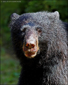 """""FURRY"",a Black bear,Anan,Alaska,USA."
