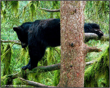 """PUSH UP HIGH"", a black bear at Anan creek, Alaska, USA-----""VYSOKE POSILOVANI""."