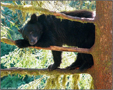 """HIGH COMFORT"", a black bear, Anan, Alaska, USA."